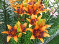 Lilium x hybridum  'Orange Art' - lilie