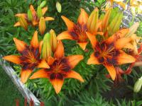 Lilium x hybridum   'Orange Art'  lilie rostlina