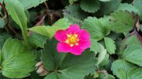 Jahodník 'Red Ruby' (Fragaria ananassa)