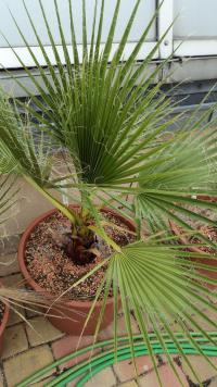 (Washingtonia filifera) Washingtonie