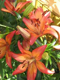 Lilium x hybridum  'Royal Sunset' - lilie