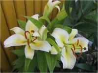 Lilium x hybridum  'Time Out' - lilie