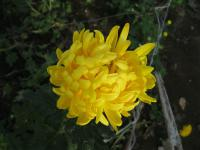Chryzantéma 'Golden Creamist' (Chrysanthemum)