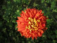 Chryzantéma 'Hanenburg' (Chrysanthemum)