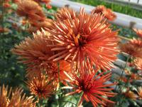 Chryzantéma 'Westland Orange' (Chrysanthemum)