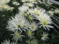 Chryzantéma 'Westland Winter' (Chrysanthemum)