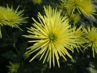 Chryzantéma 'Westland Yellow' (Chrysanthemum)
