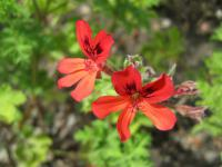 Pelargonie x Scarlet Unique