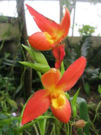 (Phragmipedium) Phragmipedium 'Don Wimber'