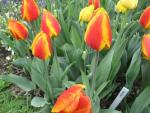 Tulipa  'Flair' - tulipán