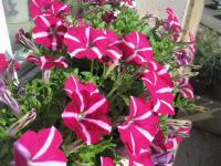 Petunie 'Corona Purple Flash' (Petunia  hybrida)