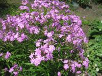 Plamenka 'Bill Baker' (Phlox carolina)