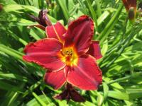 (Hemerocallis hybrida) Denivka 'Canadian Mountie'