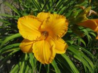 Denivka 'By Myself' (Hemerocallis hybrida)