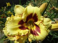 (Hemerocallis hybrida) Denivka 'Blackberry Candy'