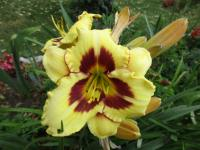 Denivka 'Blackberry Candy' (Hemerocallis hybrida)