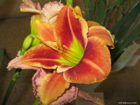 Denivka 'Fire and Fog' (Hemerocallis hybrida)