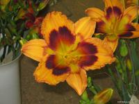 Denivka 'Radiant Greetings' (Hemerocallis hybrida)