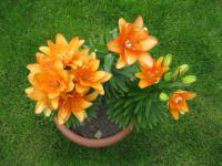 Lilium x hybridum  'Tiny Double You' - lilie