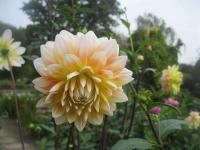 Jiřina 'Peaches and Cream' (Dahlia pinnata)