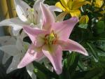 (Lilium x hybridum) Lilie Party Diamond - LA hybridy