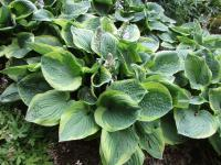 Hosta   'Fool's Gold' - bohyška