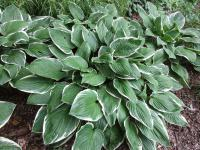 Hosta  'Green Gold' - bohyška