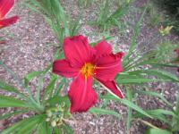 Denivka Scotland (Hemerocallis hybrida)