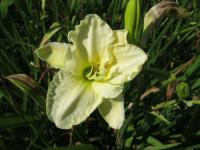(Hemerocallis hybrida) Denivka White Temptation