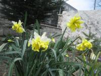 Narcissus  'Belcanto' - narcis
