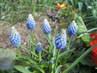 Muscari aucheri  'Ocean Magic'  modřenec Aucherův rostlina