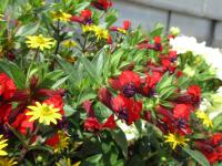 Hlazenec Vienco Puple Red