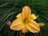 (Hemerocallis hybrida) Denivka Big World