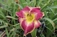 Hemerocallis  'Arabian Veil' - denivka
