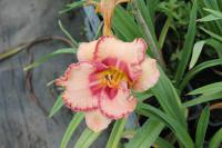 (Hemerocallis hybrida) Denivka New Quest
