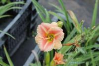 (Hemerocallis hybrida) Denivka Little Anna Rosa