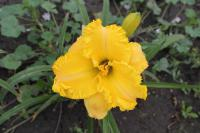 (Hemerocallis hybrida) Denivka 'Hidden Riches'