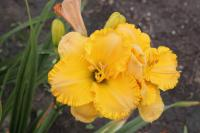 Hemerocallis  'Silician Summer' - denivka