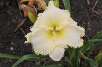 Hemerocallis hybrida  'Artic Lace' - denivka