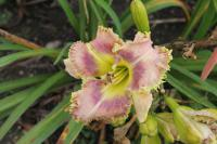 (Hemerocallis hybrida) Denivka Wise Whiskers
