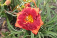 (Hemerocallis hybrida) Denivka Orange City