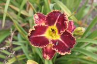 (Hemerocallis hybrida) Denivka Born to Run