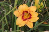 Denivka Two Part Harmony (Hemerocallis hybrida)