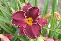 Hemerocallis  'Buddy's Black Lady' - denivka
