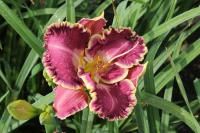 (Hemerocallis hybrida) Denivka Jennifer Trimmer