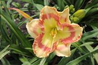(Hemerocallis hybrida) Denivka Tumbled Glass