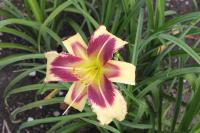 (Hemerocallis hybrida) Denivka Dimensional Shift