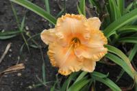 Denivka 'Pineapple Moon' (Hemerocallis hybrida)
