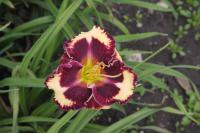(Hemerocallis hybrida) Denivka The Dark Side