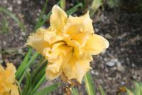 denivka Hemerocallis hybrida  'Siloam Queen Lace'